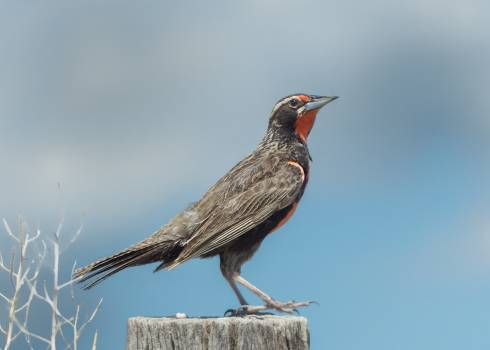 Bulbul Nightingale Bird Free Photo
