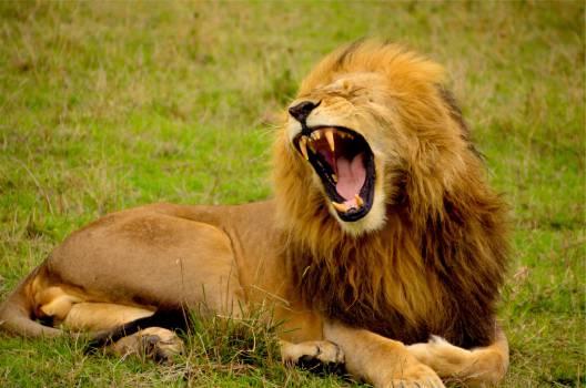 lion mane animal  #17709