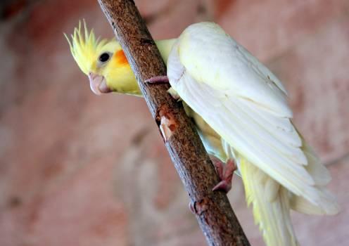 Bird Cockatoo Parrot Free Photo