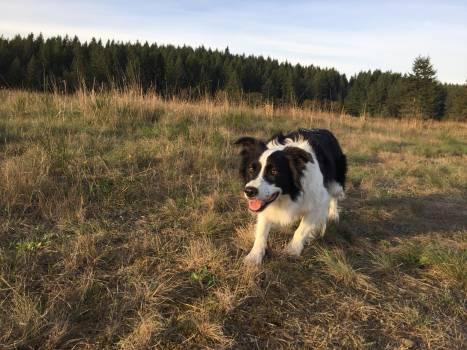 Border collie Shepherd dog Dog #177781