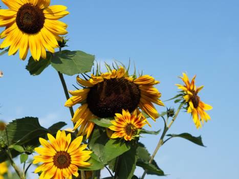 Sunflower Flower Yellow #178121