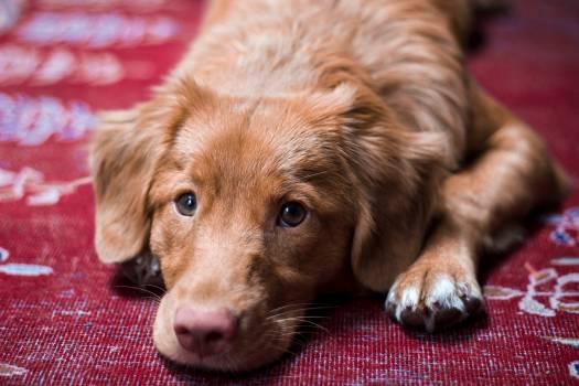 Spaniel Dog Sporting dog Free Photo
