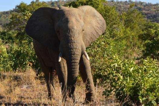 Mammal Elephant African elephant #179043