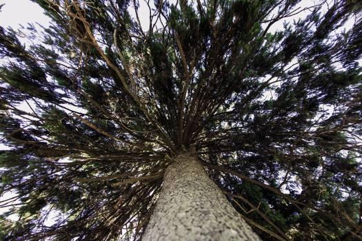 Pine Tree Fir #179218