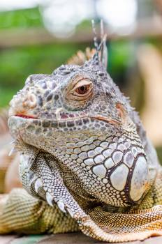 Common iguana Lizard Reptile Free Photo
