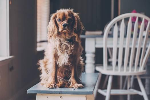 Spaniel Cocker spaniel Sporting dog Free Photo