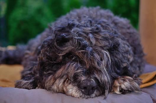 Shepherd dog Dog Bouvier des flandres #179354