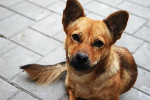 Chihuahua Dog Canine #179379