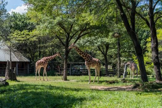 Giraffe Impala Antelope Free Photo