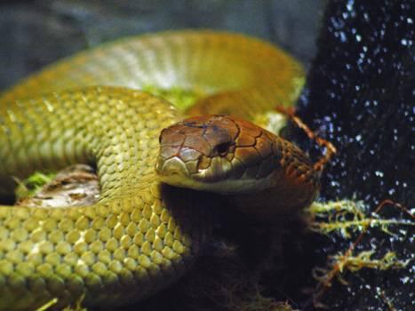 Snake Reptile Night snake Free Photo