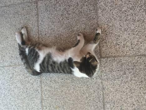 Madagascar cat Lemur Kitten #180549