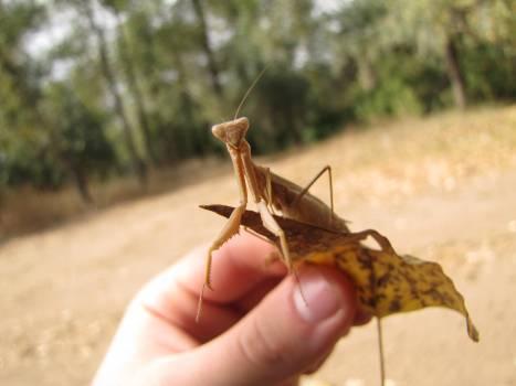 Mantis Insect Arthropod #180581