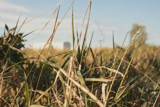 Sugar Field Sky Free Photo