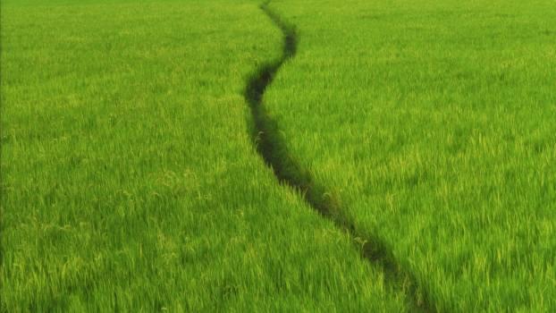 Rice Field Wheat #180645