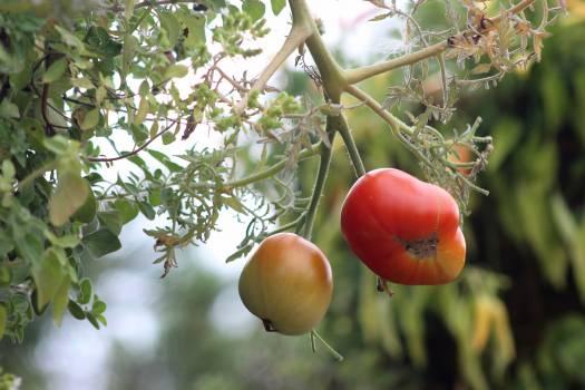 Tomato Fruit Apple Free Photo