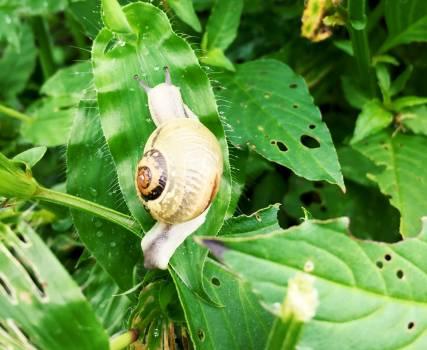 Snail Gastropod Mollusk Free Photo