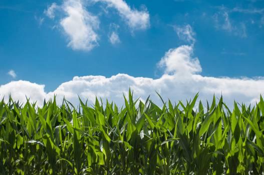 corn fields farming country  Free Photo