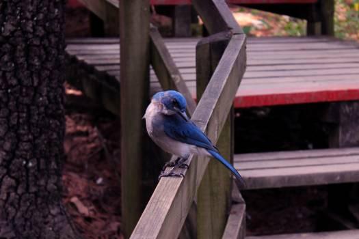 Jay Bird Wildlife Free Photo