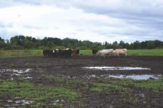 Farm Ranch Cattle Free Photo