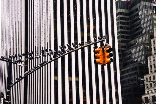 traffic lights pigeons birds  #18168