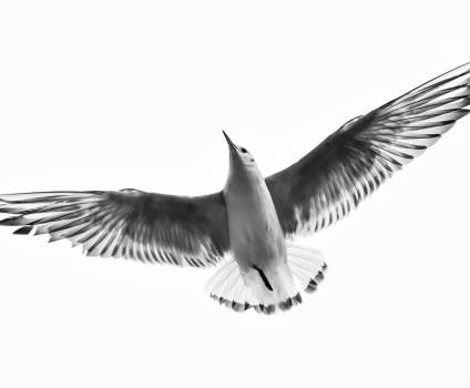 Wing Bird Flying Free Photo