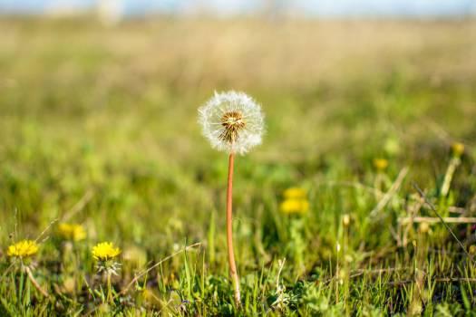 dandelion flower grass  Free Photo