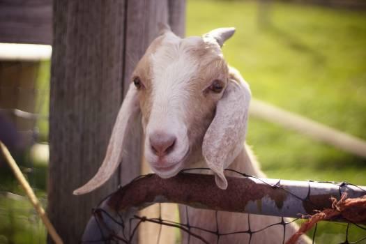 Calf Young mammal Farm Free Photo