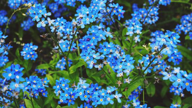 blue blossoms flowers  Free Photo
