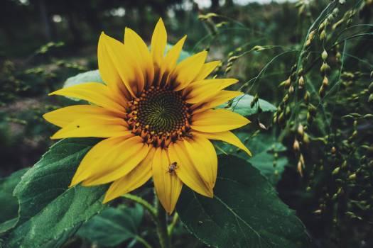 Sunflower Flower Yellow #182381