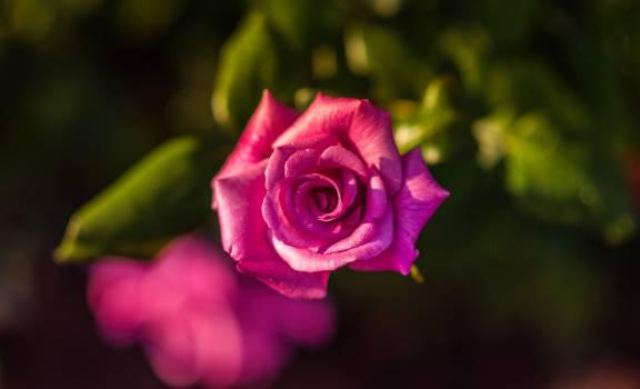 Rose Pink Bud Free Photo