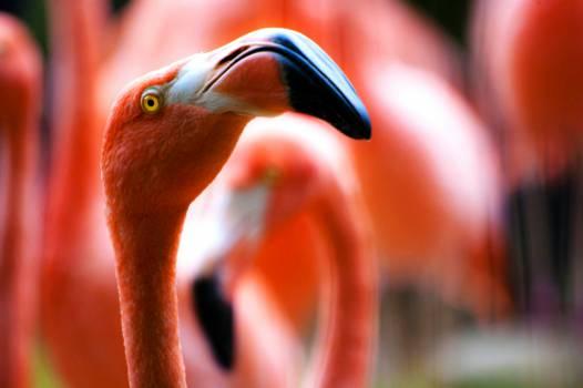 pink flamingos birds  Free Photo