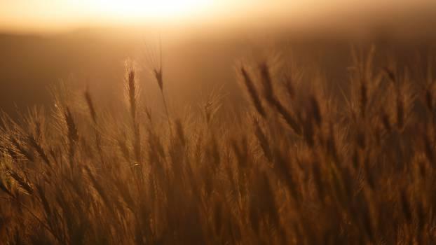 sunset crops plants  #18293