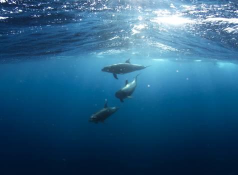 underwater blue dolphins  #18319