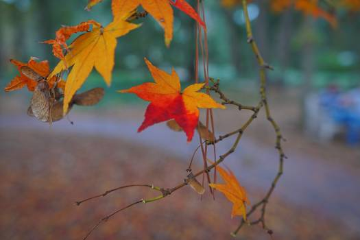 Orange Maple Plant Free Photo