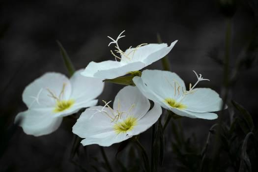 Flower Lily Petal #183449