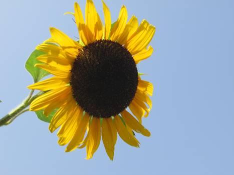 Sunflower Flower Yellow #183855