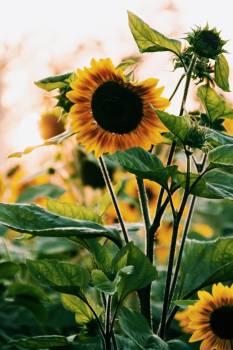 Sunflower Flower Yellow #184021