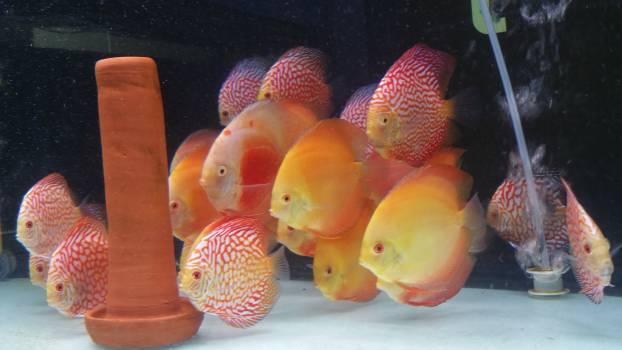 Goldfish Cyprinid Fruit Free Photo