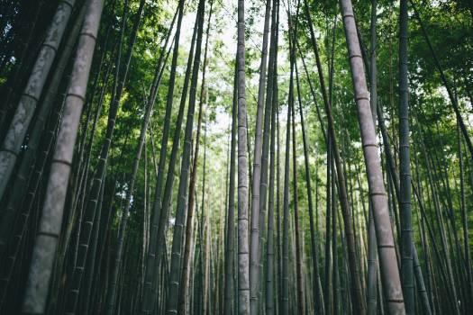 Bamboo Free Photo