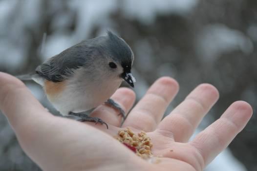 Junco Finch Bird #185256