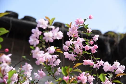 Lilac Flower Pink Free Photo