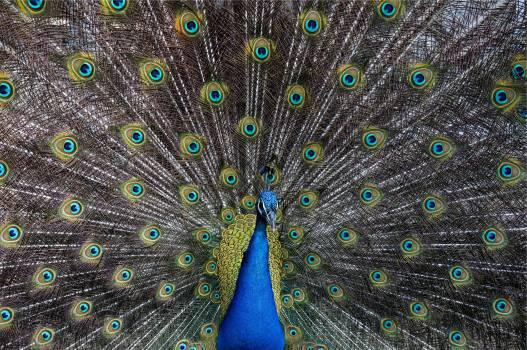 peacock bird animal  #18541