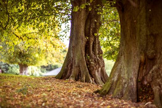 Oak Tree Forest #186022