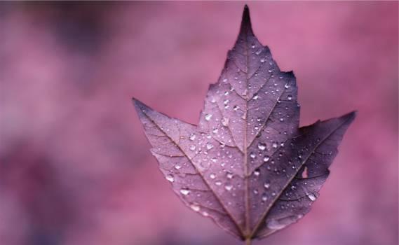 purple leaf  Free Photo