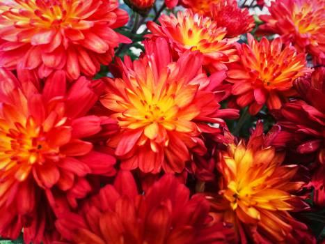 red flowers garden  Free Photo