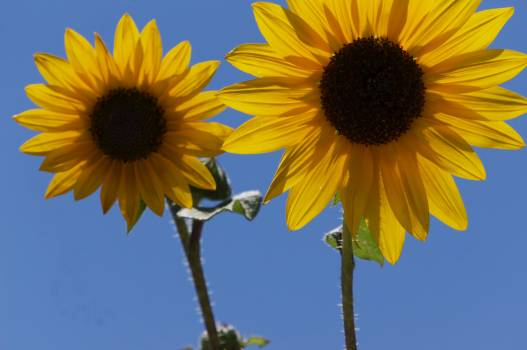 Sunflower Flower Yellow #186425