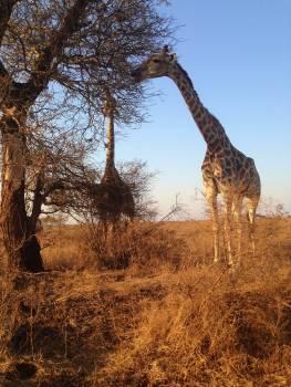 Giraffe Bustard Wading bird #186708