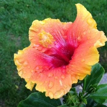 Flower Rose Pink #186746