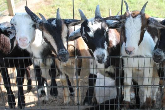 Cattle Dairy Farm Free Photo