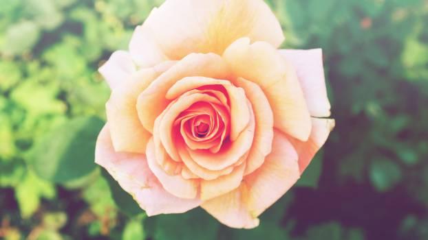 rose flower  #18687
